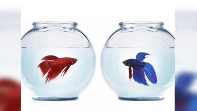 Photo of Ternyata, Pelihara Ikan Hias Cupang Bikin Pikiran Rileks