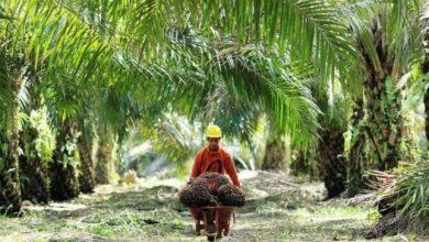 Photo of Kebun Sawit di Bengkulu Tambah Luas di 2020, Capai 2000 Hektare