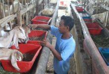 Photo of Rumput Laut dan Limbah Sawit Disulap Jadi Pakan Ternak