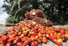 Photo of Harga TBS Sawit Riau Pekan ini Naik Rp 73,50/Kg
